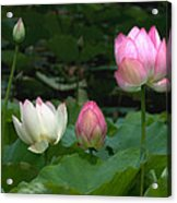 Lotus--stages Of Life II Dl024 Acrylic Print