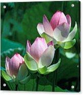 Lotus--stepping Stones 24p Acrylic Print