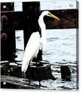 Louisiana Egret Acrylic Print