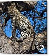 Lounging Leopard Namibia Acrylic Print by David Kleinsasser
