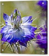 Love In The Mist - Nigella Acrylic Print
