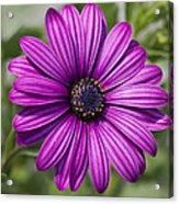 Lovely African Daisy - Osteospermum Acrylic Print