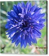 Lovely Dark Blue Gentleman's Button Acrylic Print