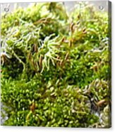 Lovely Green Lichen Acrylic Print