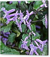 Lovely In Lavender Acrylic Print