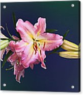 Lovely Pink Lilies Acrylic Print