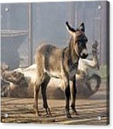 Loving Family Of Donkeys Acrylic Print by Odon Czintos