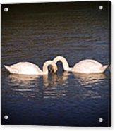 Loving Swans Acrylic Print
