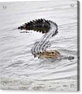 Low Country Marsh Alligator Acrylic Print