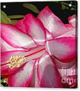 Luminous Cactus Flower Acrylic Print