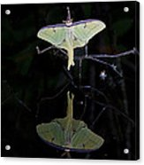Luna Moth And Reflection Acrylic Print