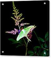 Luna Moth On Astilby Flower Acrylic Print
