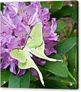 Luna Moth On Rhododendron 1 Acrylic Print