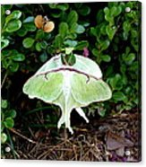 Luna Moths' Afternoon Delight Acrylic Print