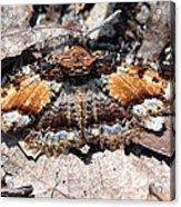 Lunate Zale Moth Acrylic Print