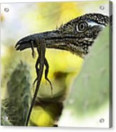 Lunch With A Roadrunner  Acrylic Print