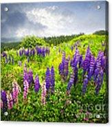 Lupin Flowers In Newfoundland Acrylic Print by Elena Elisseeva
