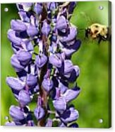 Lupine And Bee Acrylic Print