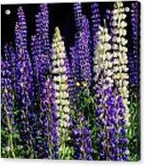 Lupine Flowers Acrylic Print