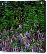Lupines Acrylic Print