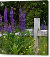 Lupines With Fence Acrylic Print