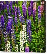 Lupins In Newfoundland Meadow Acrylic Print