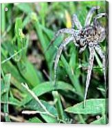 Lurking Spider In The Grass Acrylic Print