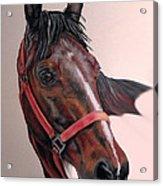 Lynette's Quarter Horse Acrylic Print