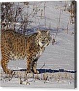 Lynx In Winter Acrylic Print