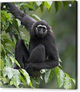 M�llers Bornean Gibbon Hylobates Acrylic Print