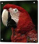 Macaw In Red Acrylic Print