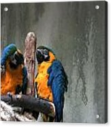 Maccaw Parrots Acrylic Print