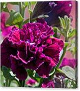 Maco Petunia Flower Double Burgundy Madness Art Prints Acrylic Print