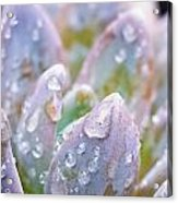 Macro Succulent With Droplets Acrylic Print