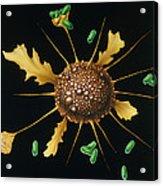 Macrophage Engulfs Bacteria Acrylic Print