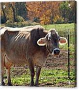 Mad Cow Tail Swish Acrylic Print