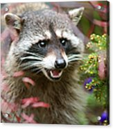Mad Raccoon Acrylic Print