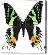 Madagascan Sunset Moth Acrylic Print