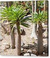 Madagascar Palms Acrylic Print