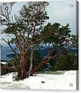 Madrone On Young Hill Acrylic Print