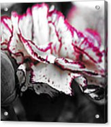 Magenta Carnation Acrylic Print