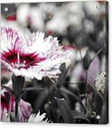 Magenta Flower Acrylic Print