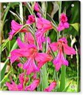 Magenta Flowers Acrylic Print