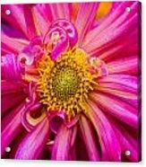 Magenta Petals Acrylic Print