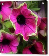 Magenta Petunia Acrylic Print