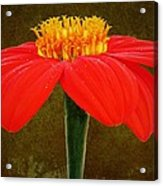 Magenta Zinnia Flower Acrylic Print by David Dehner