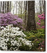 Magical Azaleas At Callaway Botanical Gardens Acrylic Print
