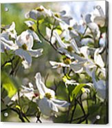Magical White Flowering Dogwood Blossoms Acrylic Print