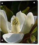 Magnificent Alabama Magnolia Blossom Acrylic Print