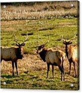 Magnificent Bull Elk Psalm 50 Acrylic Print